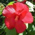 3 hibiscus M et soleil
