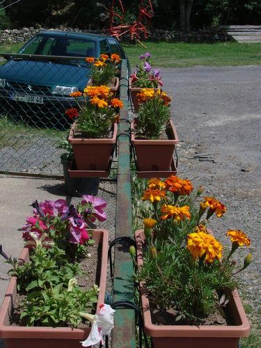 2008 07 11 Mes oeillets d'Inde et mes pétunias en jardinière