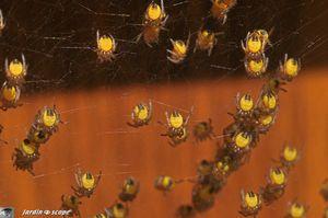 Bébés Épeire diadème • Araneus diadematus