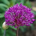 Allium hollandicum 'purple sensation