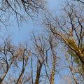 2009 03 15 Les arbres, vu vers le ciel