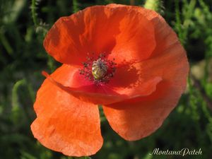 Coquelicot jardin MontanaPatch (9)