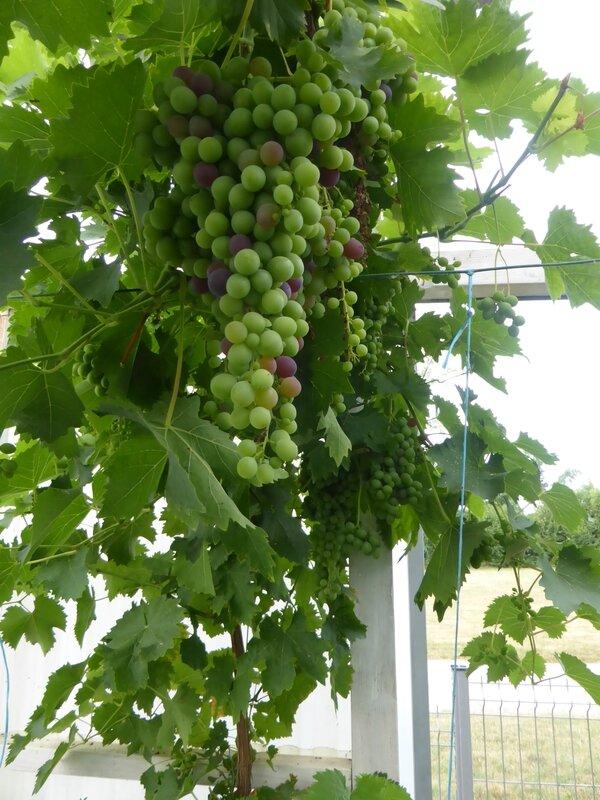 24-raisins (5)