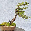 Orme de chine avec shari - china elm with shari - battu par les vents / fukinagashi