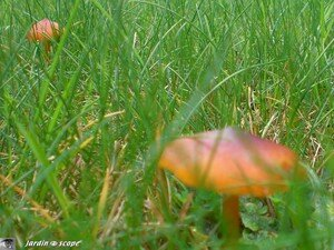 Hygrophore Conique • Hygrocybe conica