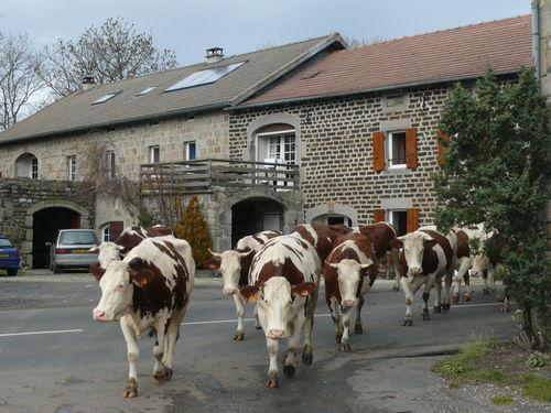 2008 11 07 Les vaches arrivent au Hoste