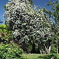 Rosier arbre_12 01 06_9864