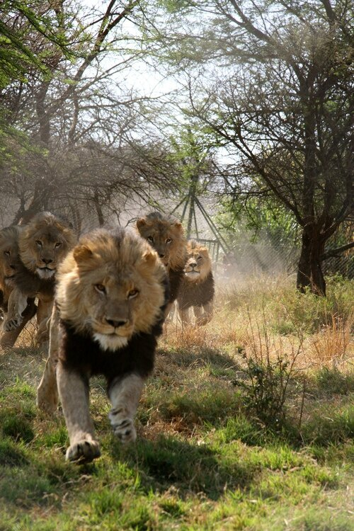 lion courant