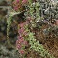 Fleur islandaise (3).