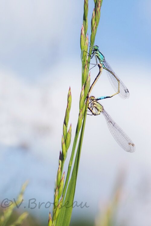 agrion14-01