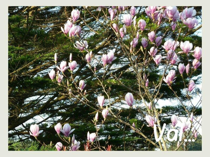 magnolia 2017 b