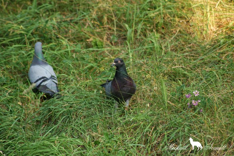 Pigeons genuine-homer 2