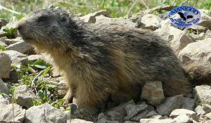 Marmotte Mai 2012 Manigod Col de Merdassier 091