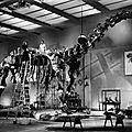 L'impossible monsieur bébé, d'howard hawks (1938): un paléontologue est pris en otage
