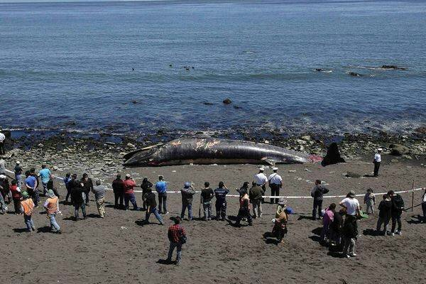 whale-found-dead-in-chile