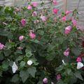 2009 08 25 Mes lavatères en fleurs