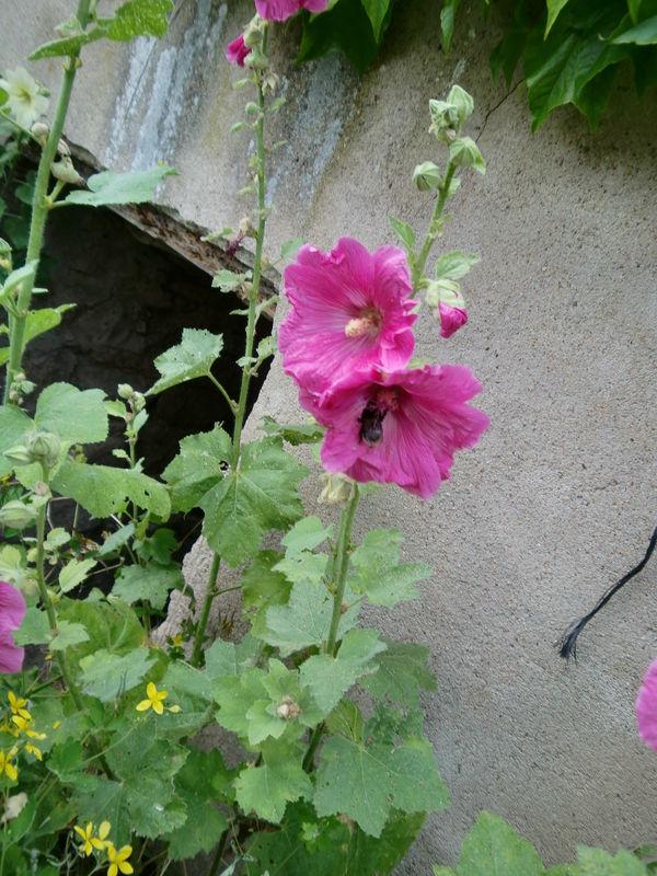 bzzz rose trémière