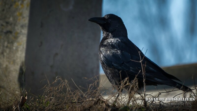 Corneille noire (Corvus corone - Carrion Crow)