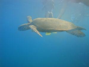 on_nage_avec_les_tortues