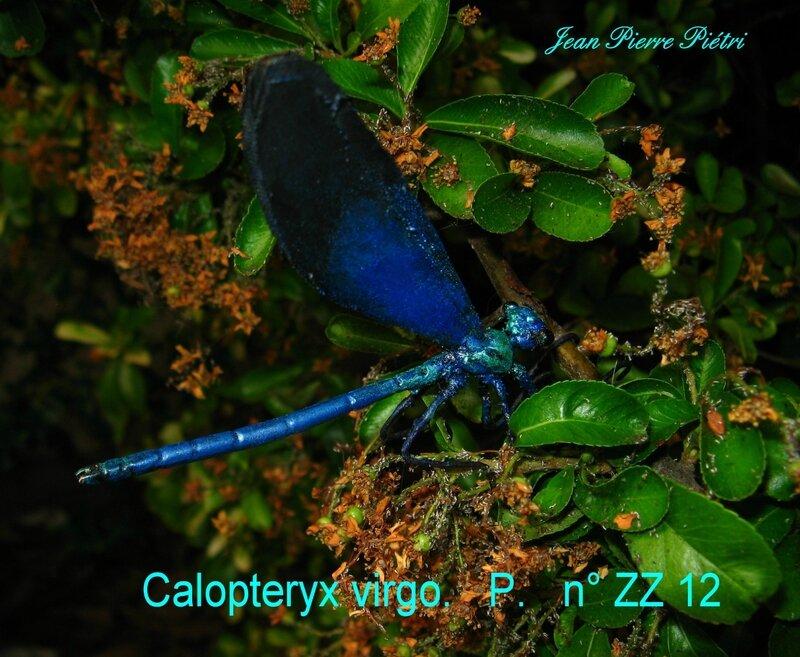 Calopteryx virgo n° ZZ12