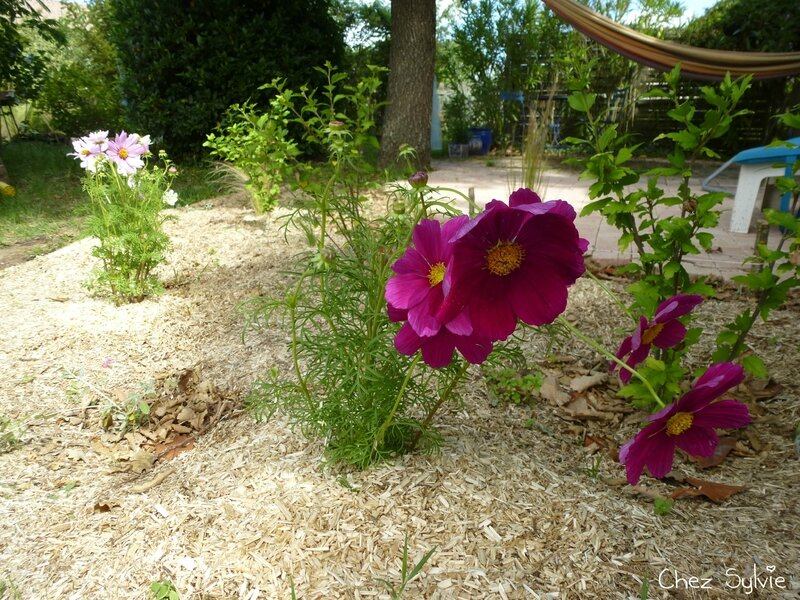 Plantation cosmos-stipa 02