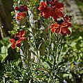 Giroflée Bouquet