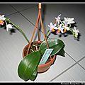 Phalaenopsis fantaisy music - floraison