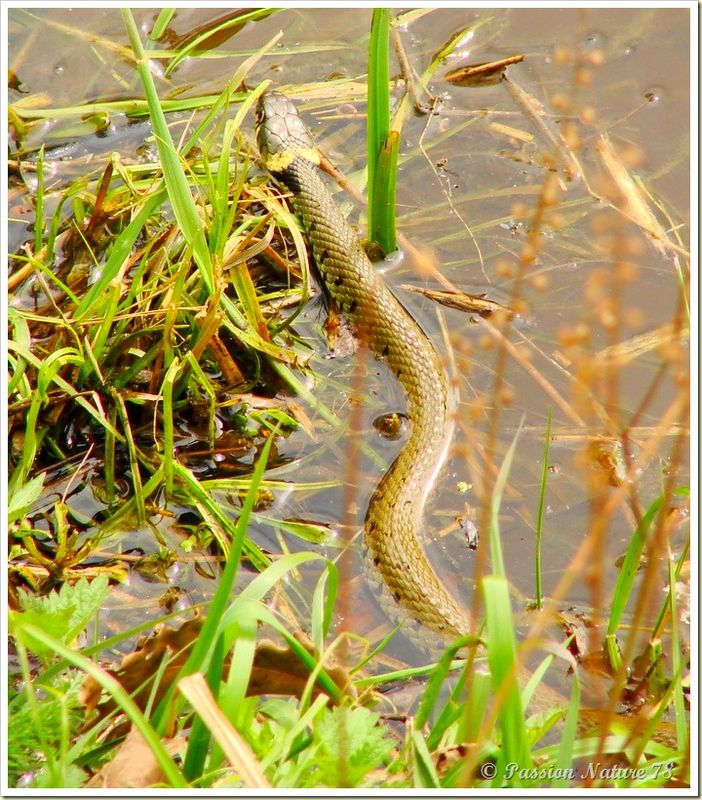 Couleuvre à collier (Natrix natrix) (10)