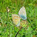 Papillons amoureux