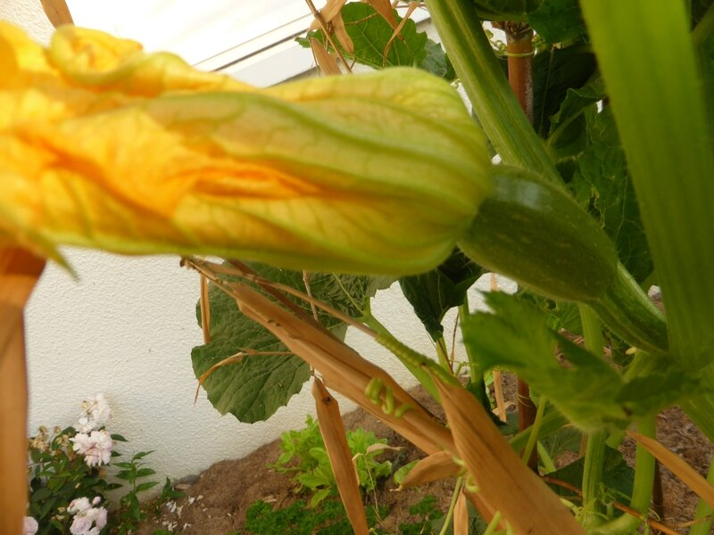 8-courgettes (7)