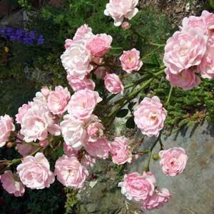 rosier polyantha the fairy