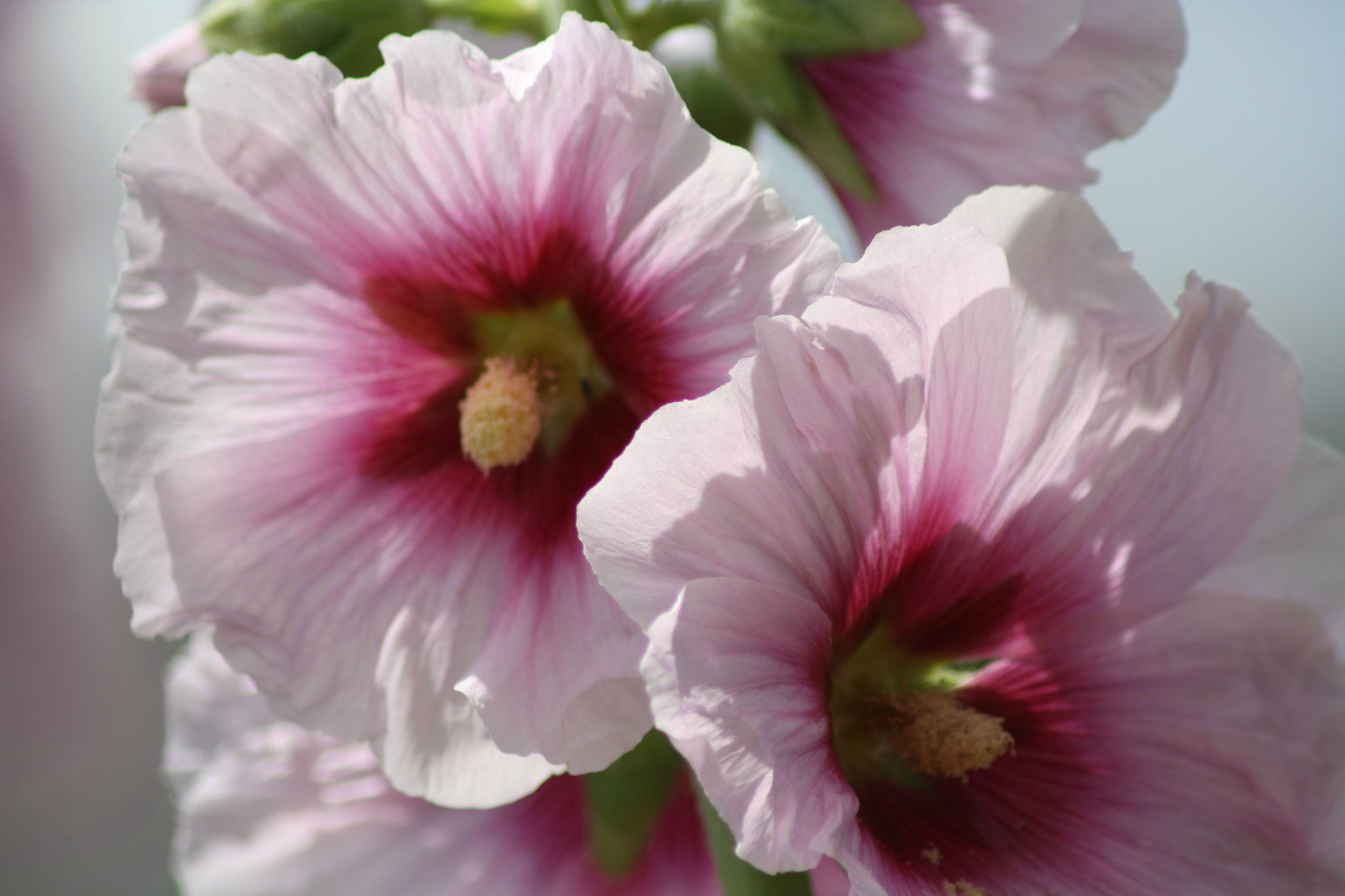 Les roses tr mi res de brinounette food coaching - Planter des roses tremieres ...