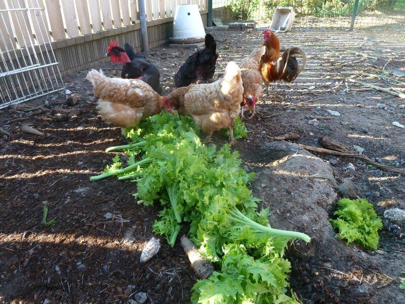5-poules et salade (6)