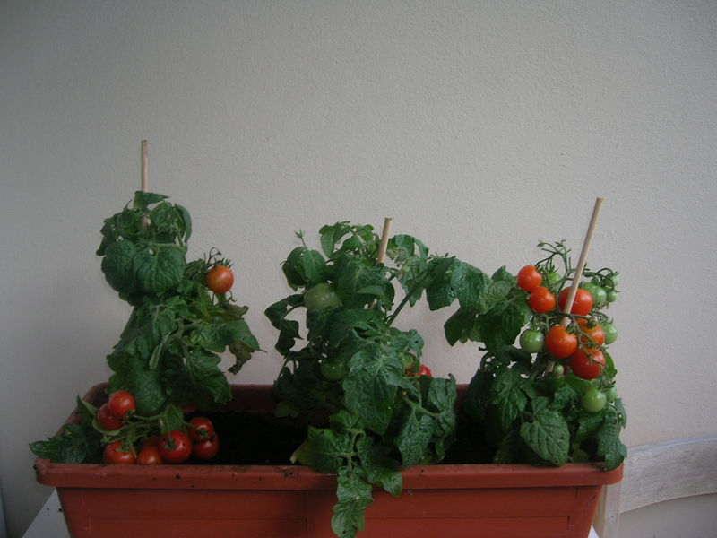 Tomates cerises en jardiniere - Quoi planter en hiver ...