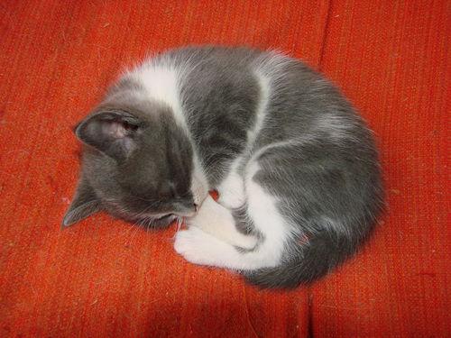 2008 04 26 Une petit chat de Blanco qui dors