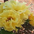 Rosa 'goldilocks' cl.