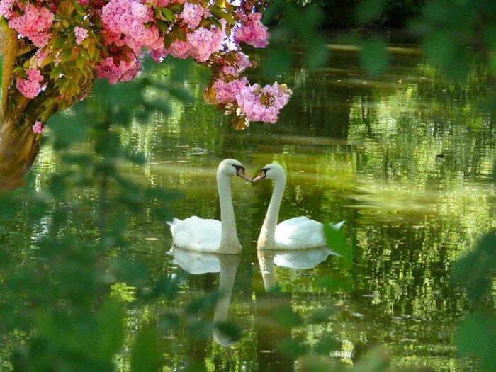 Copie de cygnes amoureux dans lare fleurs roses 700PX