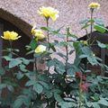 rosier 9