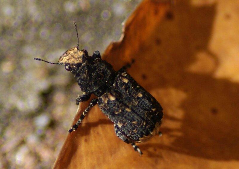 scarabee xx 01
