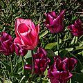 Le printemps étant là, les tulipes le sont aussi pour notre plus grand plaisir ...