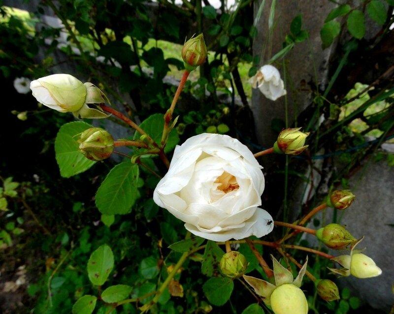 la rose du samedi 18