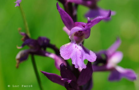 orchis_mascula
