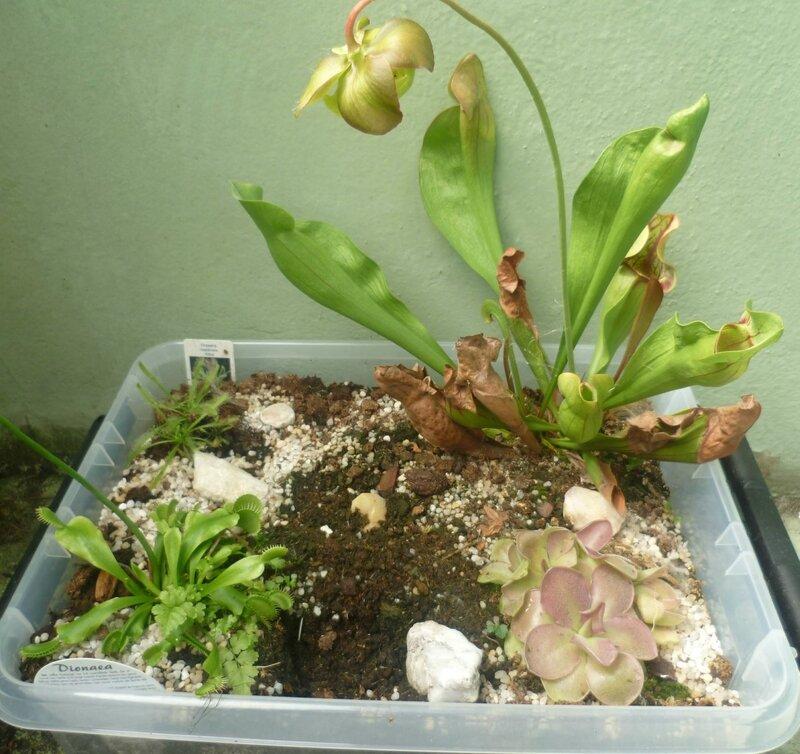 Balade au pays des plantes carnivores piments et bananier - Comment planter un bananier ...