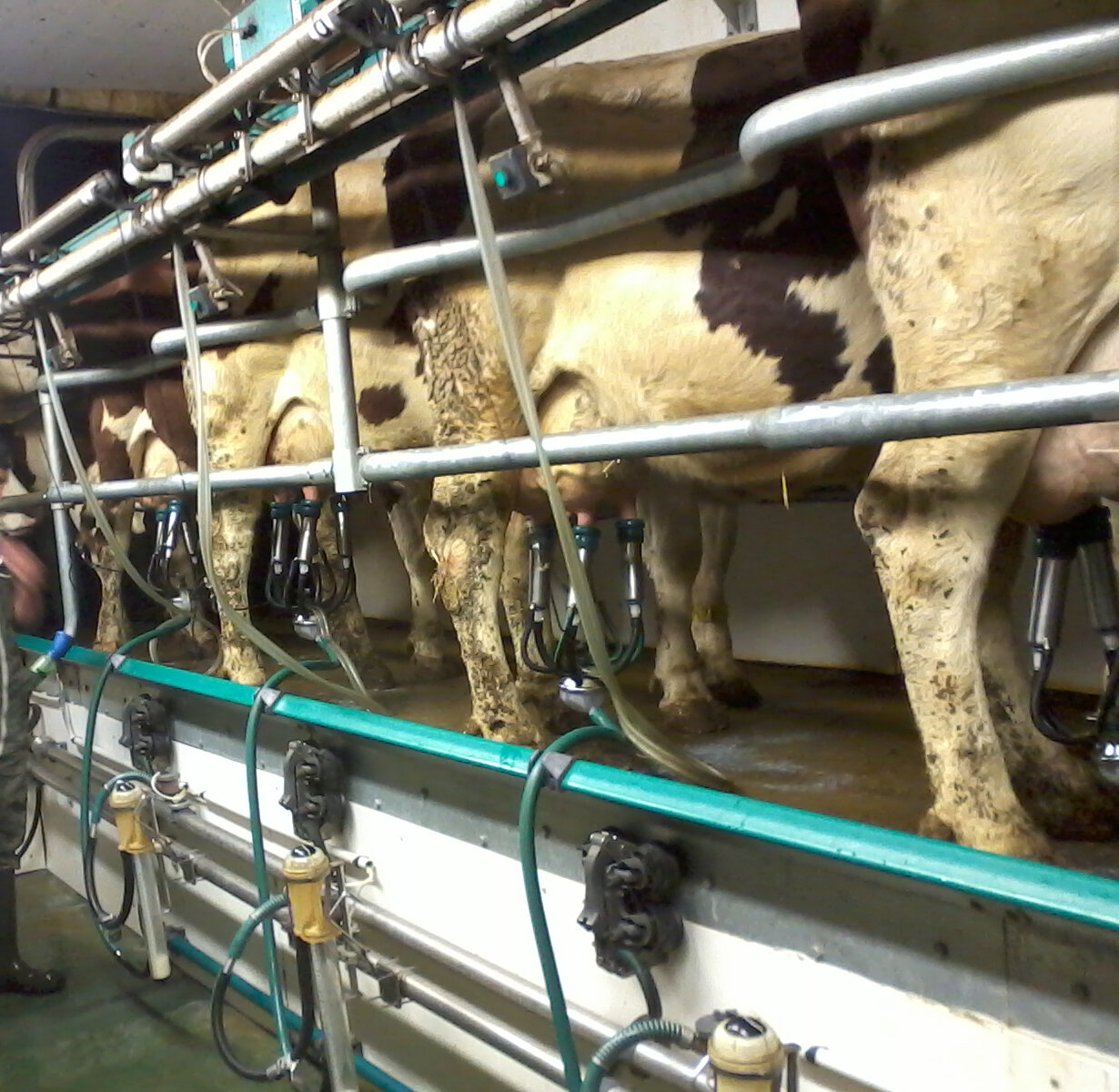 troupeau bovin mal traite