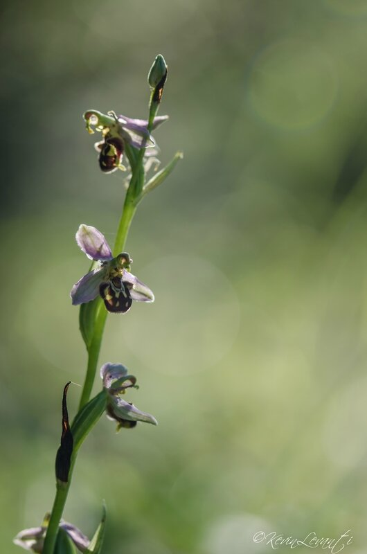 Ophrys abeille - Ophrys apifera (4)