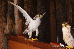 Le faucon lanier