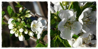 cerisier cherry brandy