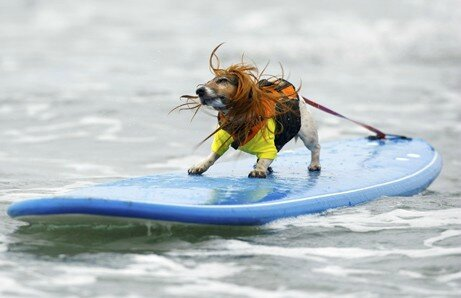 chiens surfeurs USA