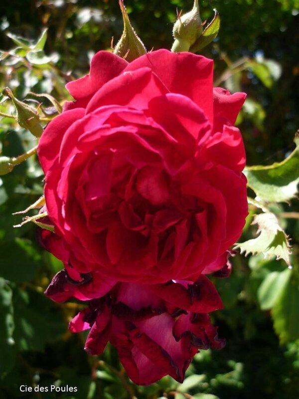 Rose mémé Charlotte 06 2017