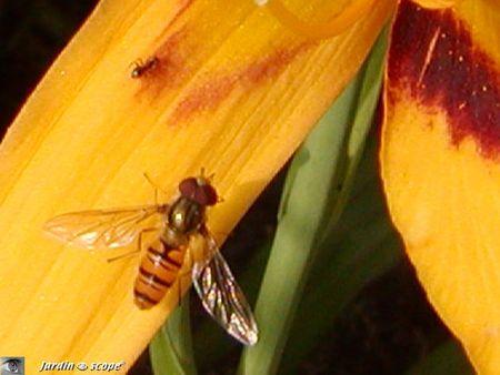 Syrphe ceinturé • Episyrphus balteatus